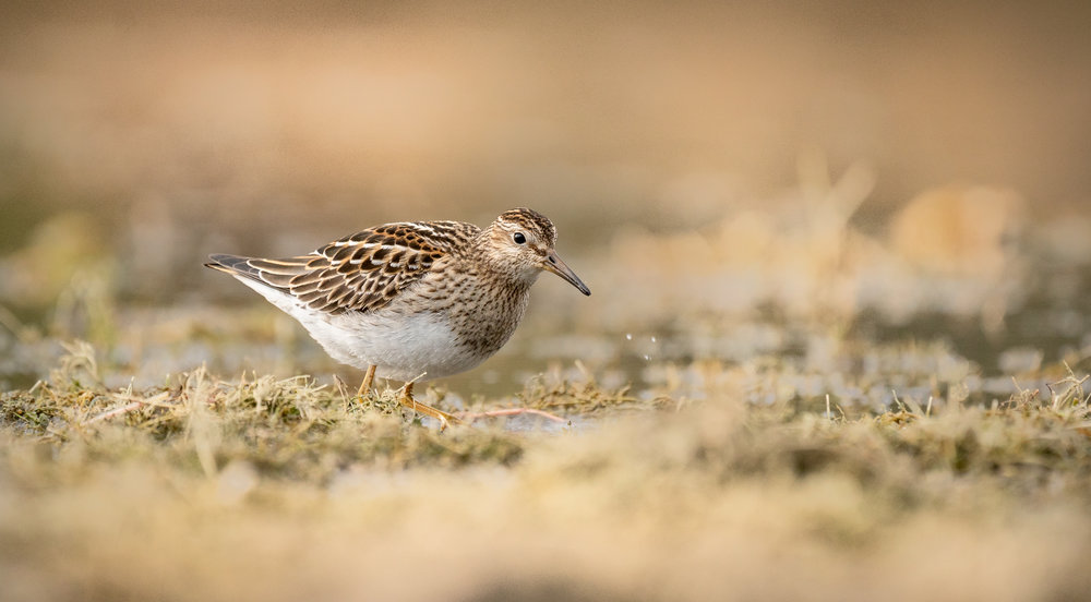 Pectoral Sandpiper Looking for Grubs