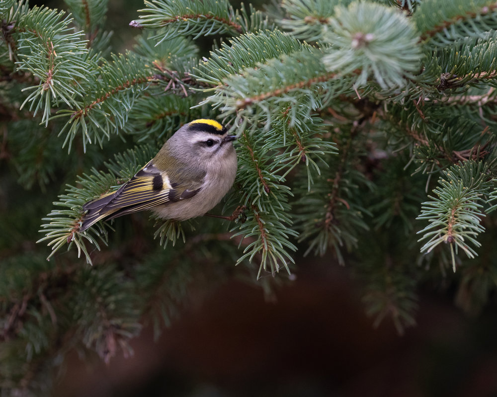Golden Crowned Kinglet bouncing from branch to branch grabbing insects as they go