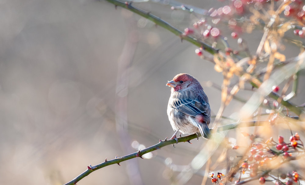 House Finch Enjoying a Moment's pause on a branch