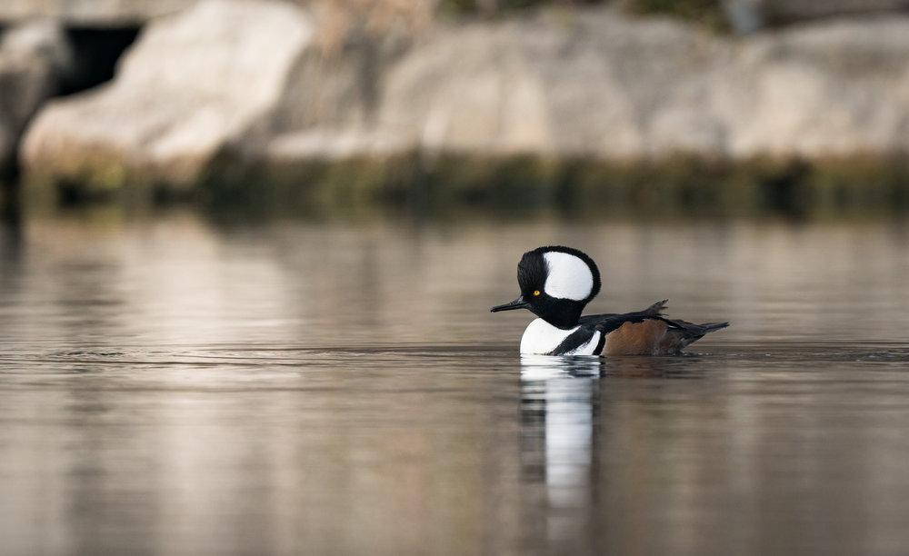 Pond Hunting