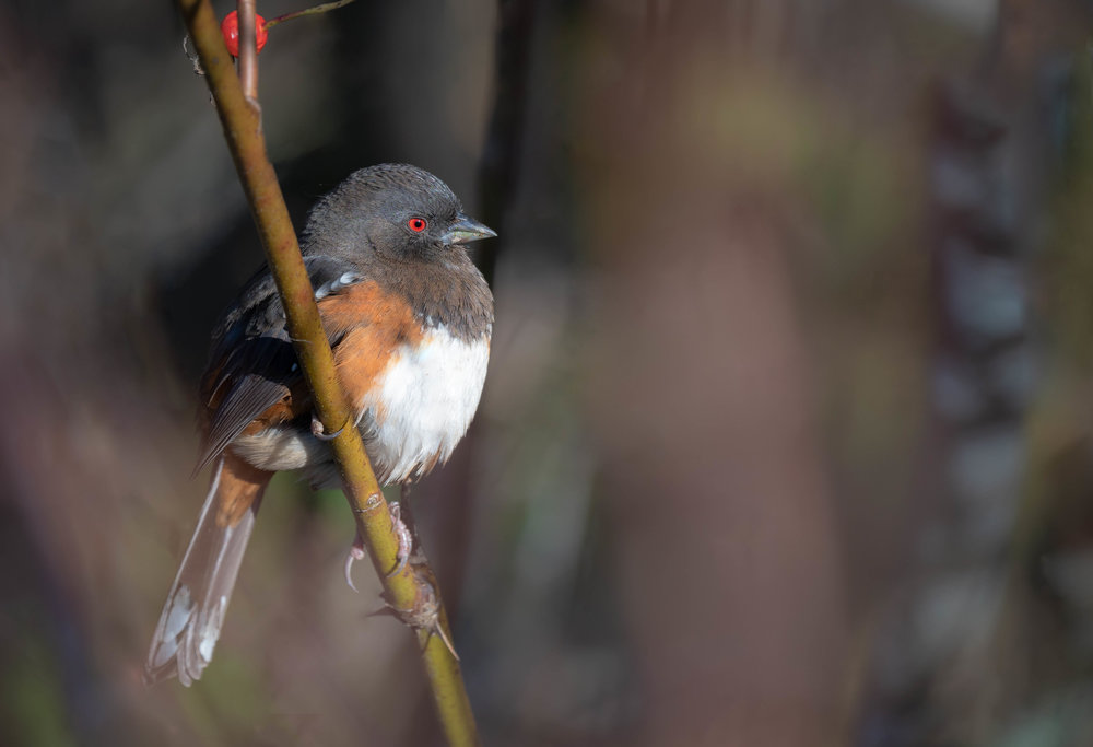 Through the bushes - a Spotted Towhee