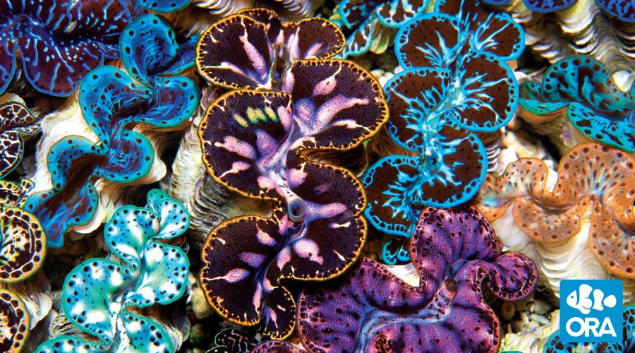 Giant Clam Physiology
