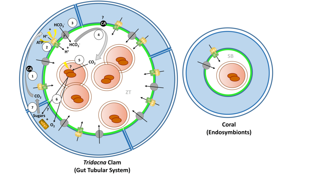 Model of zooxanthellae tubule system in T. maxima as compared with the endosymbiotic arrangement in corals.   (Left) In giant clams, Symbiodinium are hosted extracellularly in digestive tubules (ZT) bounded by host clam cells (blue) that express VHA in apical membranes (green). (Right) In corals, algae are housed intracellularly in a membrane-bound symbiosome (SB) containing VHA. In both taxa, metabolic CO2 is converted by host carbonic anhydrase (CA) to H+ and HCO3 − (1). H+ is then actively transported into the tubule lumen by clam VHA (green/yellow structure; 2). HCO3 − follows via an unknown bicarbonate transport mechanism (gray circle; 3), whereupon putative host-derived CA catalyzes the reconversion of both substrates into CO2 (4). CO2 diffuses into Symbiodinium cells (5) where it is transported by unknown mechanisms to algal chloroplasts. Algal photosynthesis drives the production of O2, which diffuses into host tissues, and sugars (6), which are translocated by unknown mechanisms to host mitochondria where they fuel oxidative catabolism and production of metabolic CO2 (7) forming a link to the conversion of CO2 to H+ and HCO3 − by CA (1)