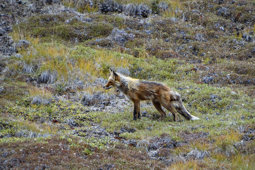 Red Fox, Kluane National Park and Reserve, Yukon Territory, Canada
