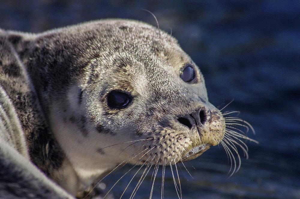 Seal pup,Gwaii Haanas National Park Reserve, British Columbia, Canada