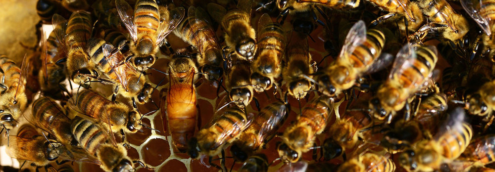 Reine et ses abeilles ICKO.jpg