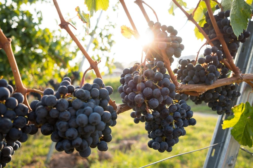 30. Vineyard -