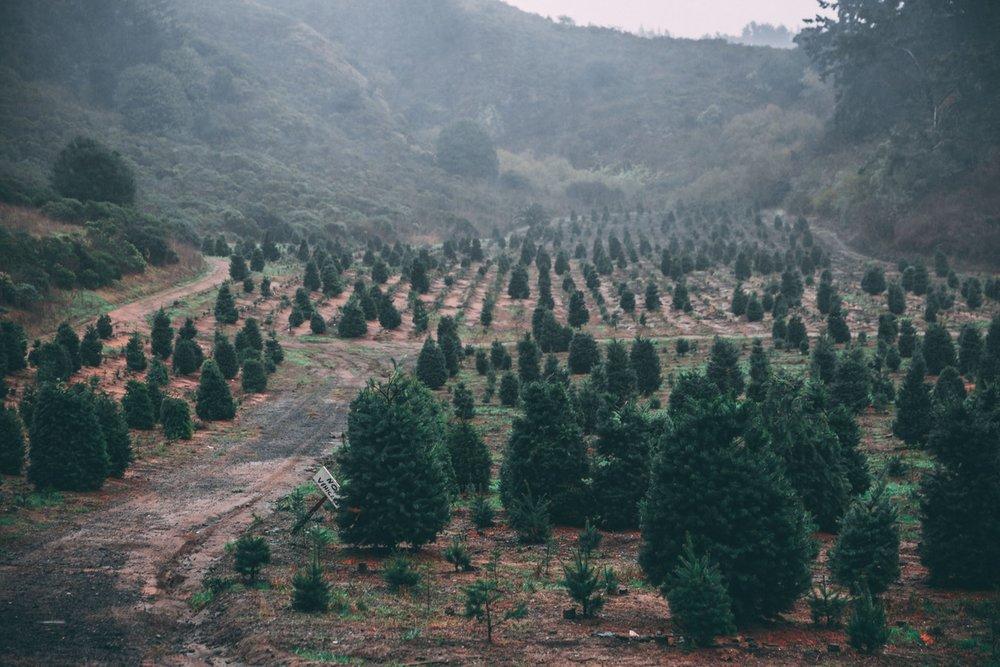 42. Christmas Tree Farm -