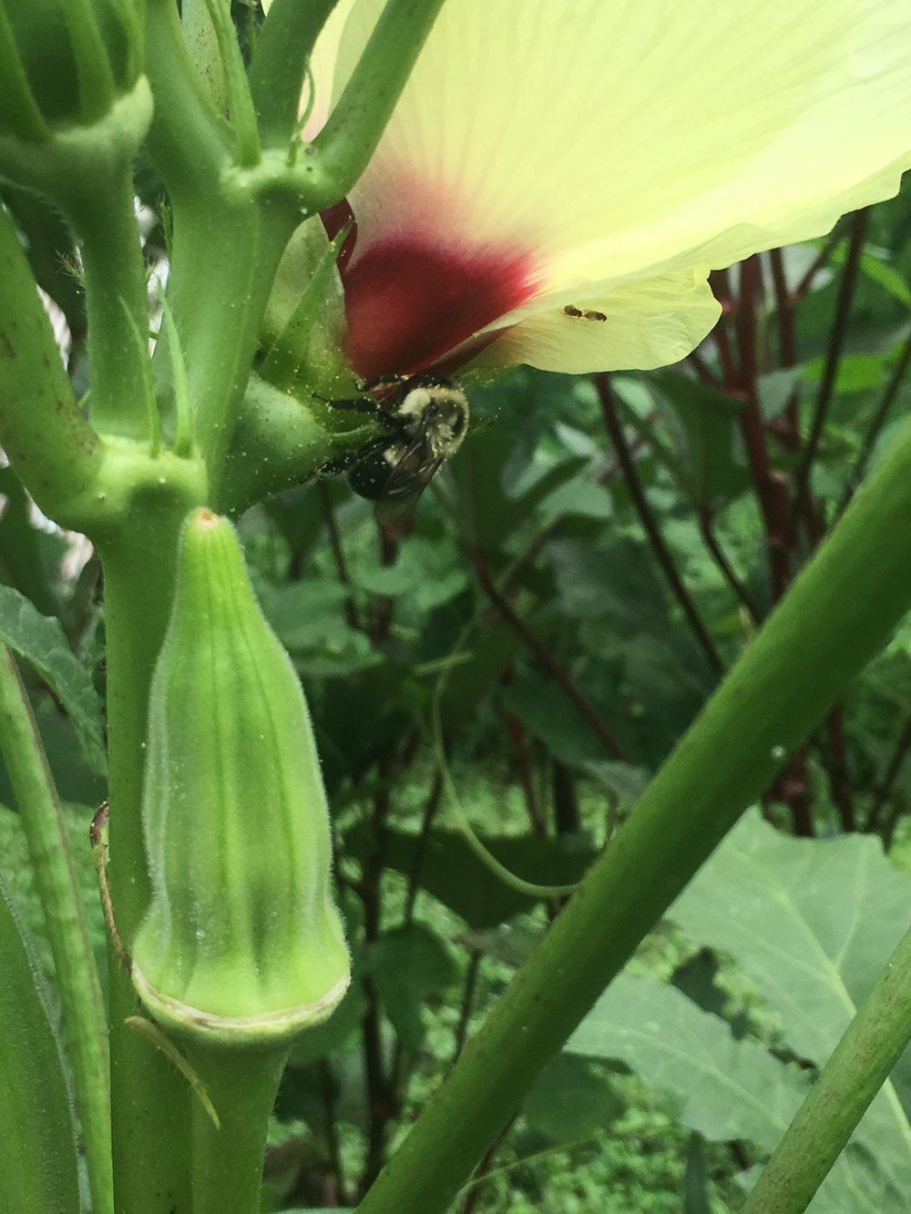 bee and okra .JPG