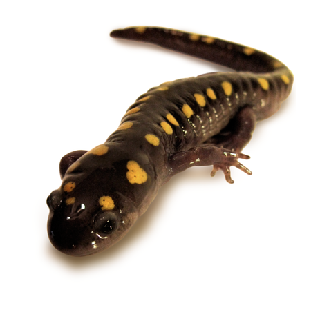 Reptiles and amphibians of Quebec - Presentations on reptiles
