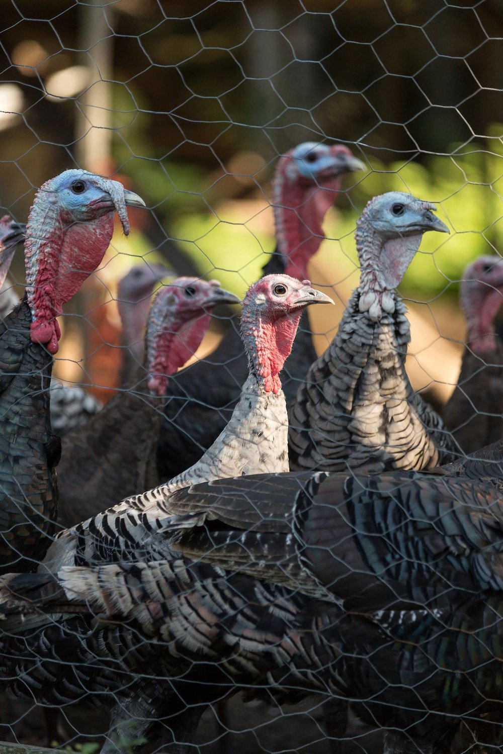Image by: Oliver Parini   Husband and wife Rick and Elena Hermonot are co-owners of Ekonk Hill Turkey Farm, LLC located in Moosup, CT.  In 1998, they raised 15 turkeys for family and friends and have grown to 2,800 pasture-raised turkeys today.  They are the largest grower of pasture-raised turkeys in Connecticut.