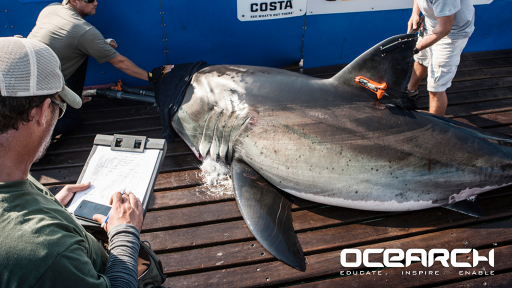 Sunexo Supported North Atlantic Great White Shark Research  -