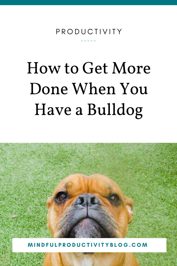 How to Get More Done When You Have a Bulldog