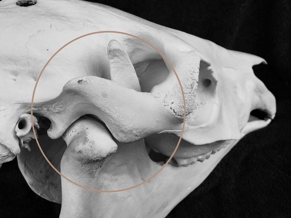 TMJ---Kaakgewricht.jpg
