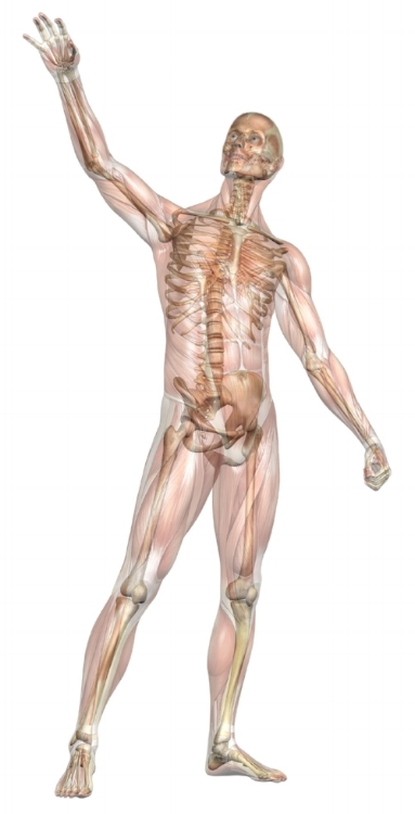 Paard-Actief---Anatomie-mens.jpg