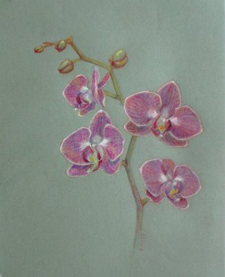 Orchids Drawings