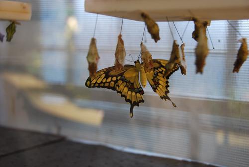 butterflies-5