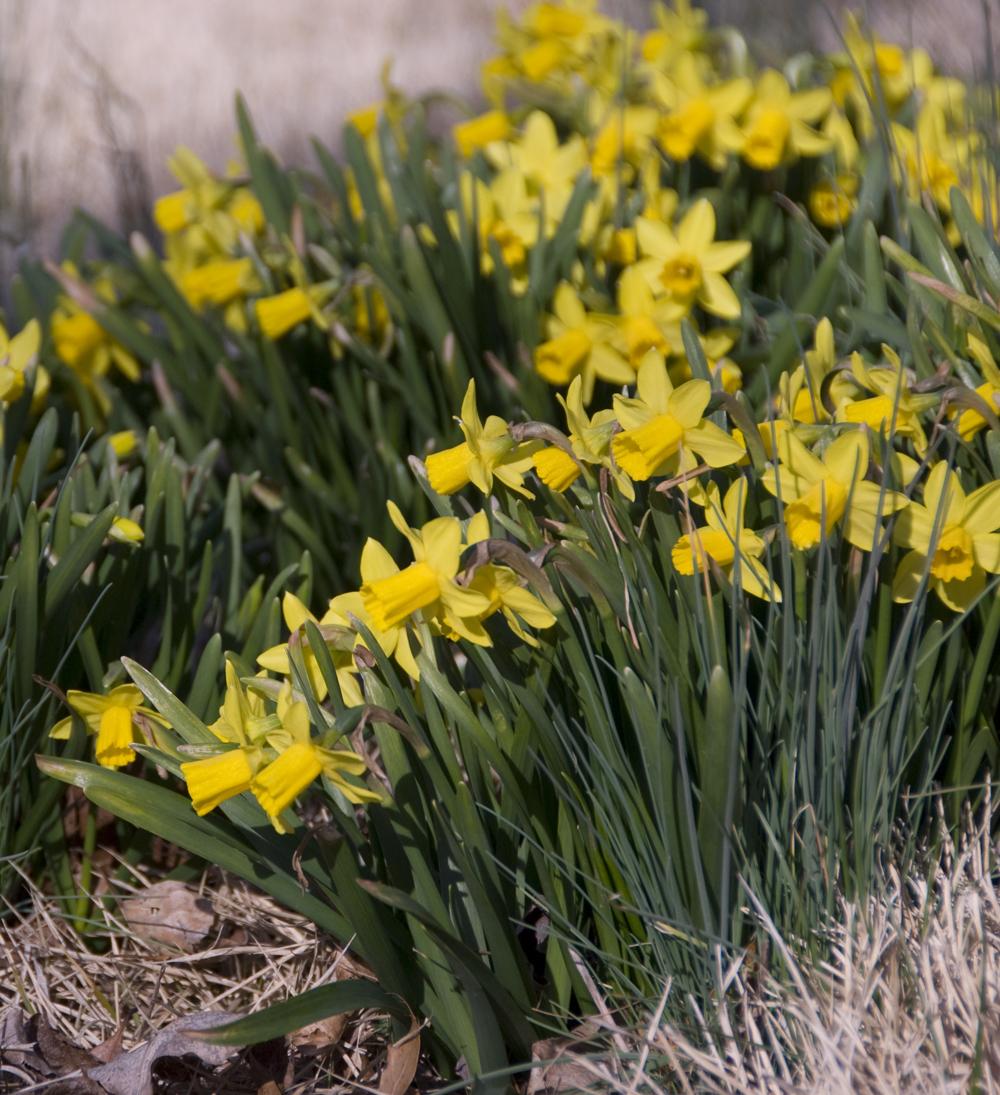 20130314 tete-e-tete-daffodils