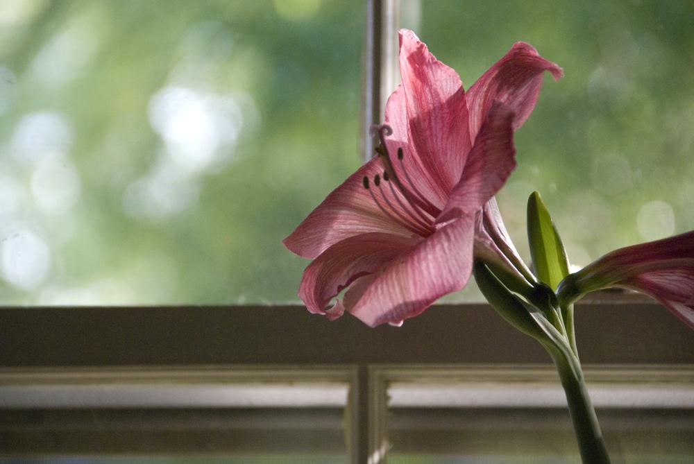 20130508-amaryllis-blooming