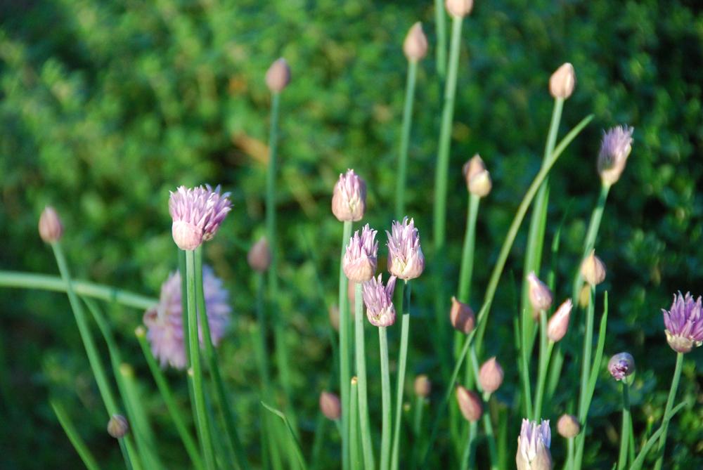 20130517-garden-snippets--7