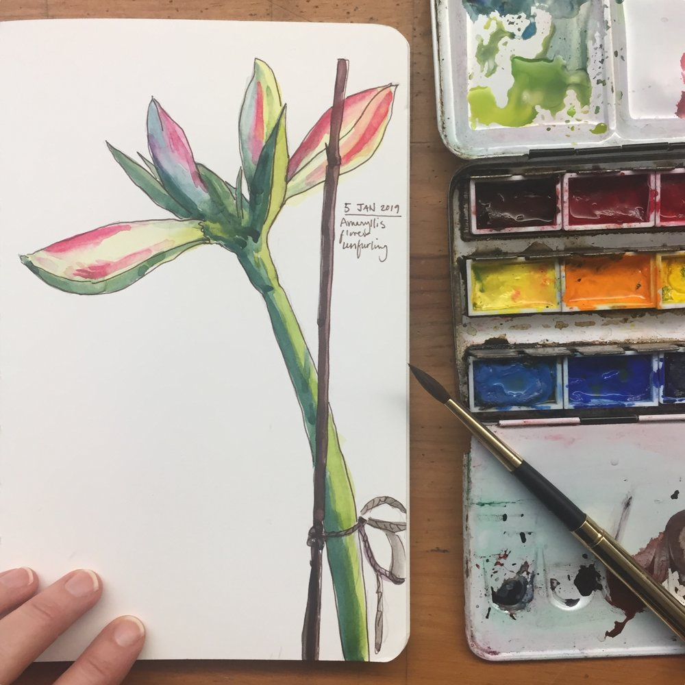 Day 5: Watercolor sketch of amaryllis flower unfurling more!