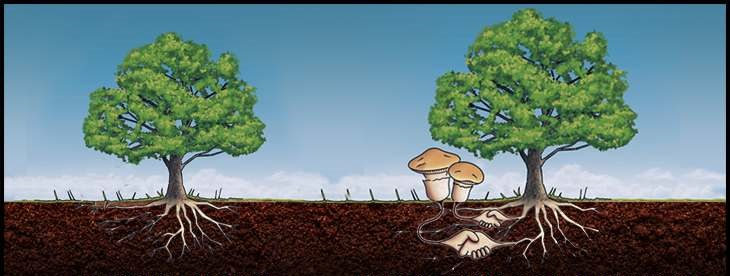 You scratch my back, I'll scratch yours - mycorrhizal fungi strike a deal between plants for an exchange of nutrients and sugars. Image from    Volterra Bio
