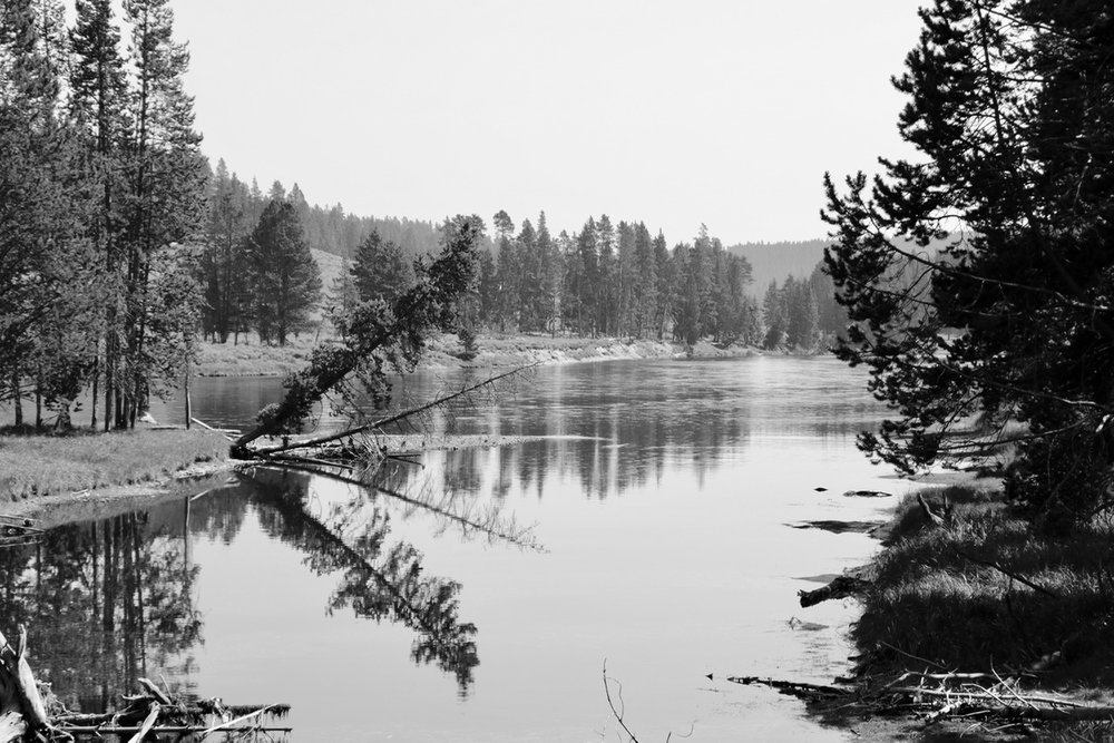 Falling Tree on Yellowstone River - Yellowstone