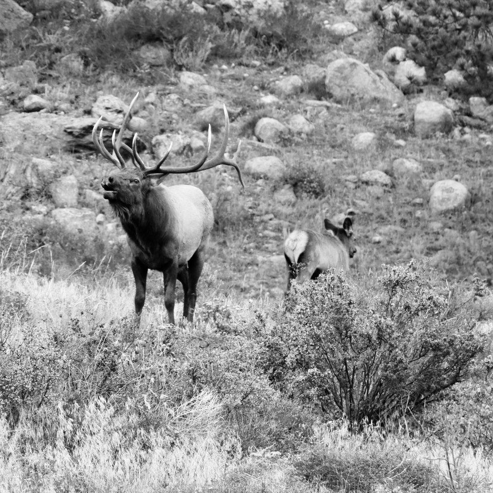 Elk Bugling - Rocky Mountain