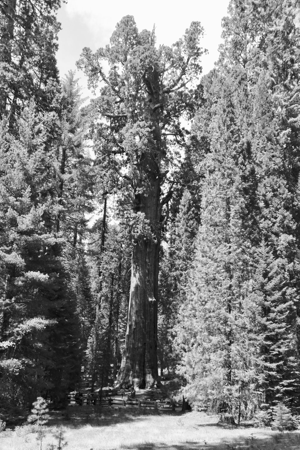 As Big as They Get - Sequoia