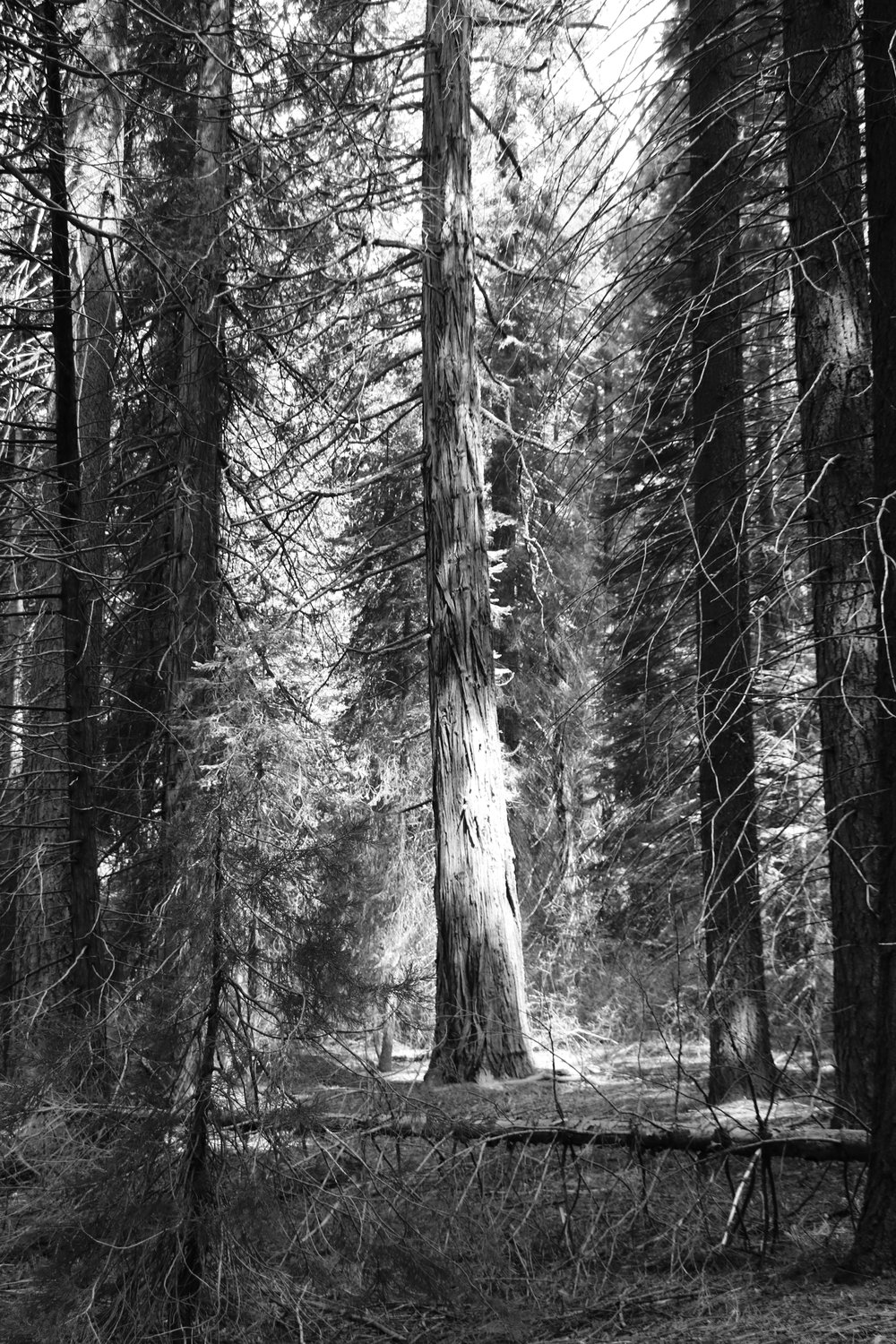 Filtered Light - Sequoia