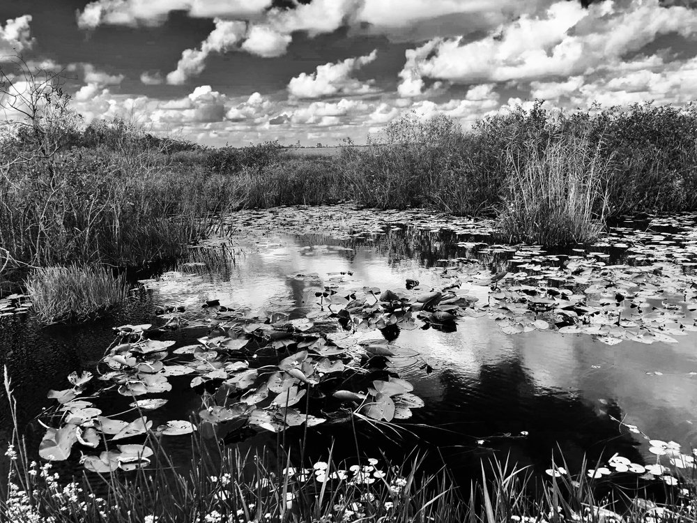 Waterlilies, Everglades