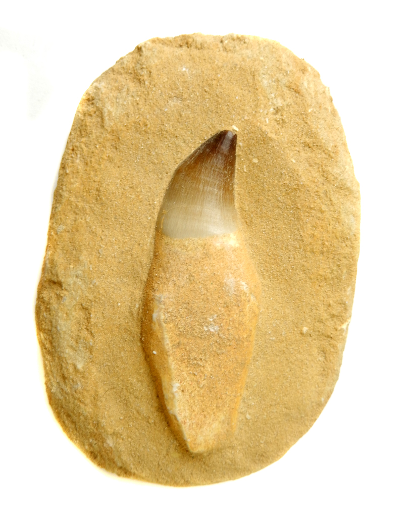Large Tooth in Rock