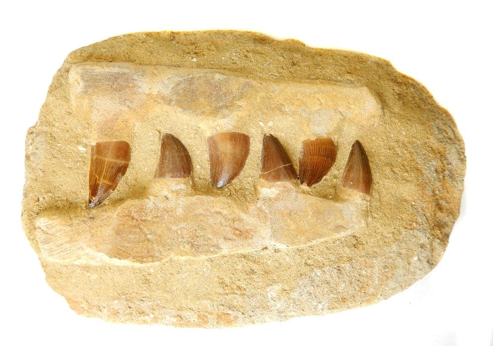 Multi Teeth in Rock