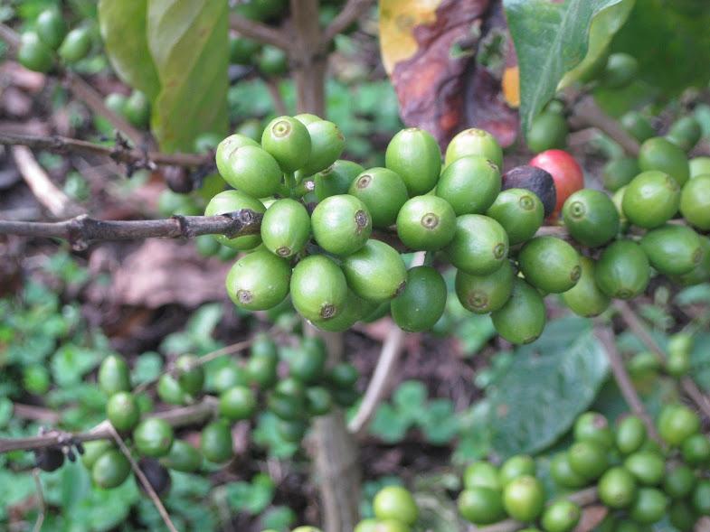 Several Coffee Berries (Photo by Indigo Werner-Salisbury)