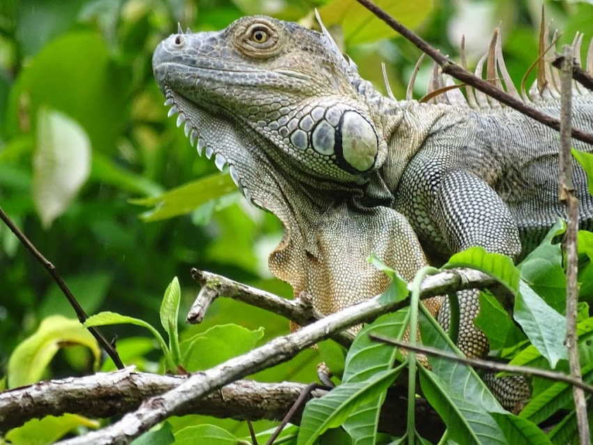 This iguana photo was taken on the very first day of the trip on our first rainforest hike.The iguana was resting in the tree, mostly because it was too cold and to stay away from predators. Since it is cold blooded it needs to stay warm. That is why it was in the high, rainforest tree.  Words by Shannen Johnston, photo by Julie Israelson