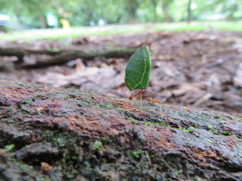 This amazing picture shows a leaf cutter ant carrying a leaf back to the rest of its colony. As you can see it takes a lot of work for this little ant to carry such a big leaf. The leaf cutter ants use the leaf to make food. They wait for the leaf to grow fungus so they can eat the fungus.  Words by Ethan Mills, photo by Silas Thornton.