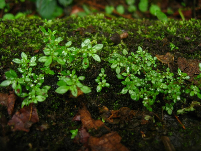 This picture shows delicate, tiny plants growing on the mossy sidewalk in a Sarapiqui jungle. As we walked through it we also saw many other amazing plants and animals, but these plants were my favorite. I like them because they are so small that you barely notice, but when you do it opens your eyes to everything around you.  Words and photo by Lucille Glassman.