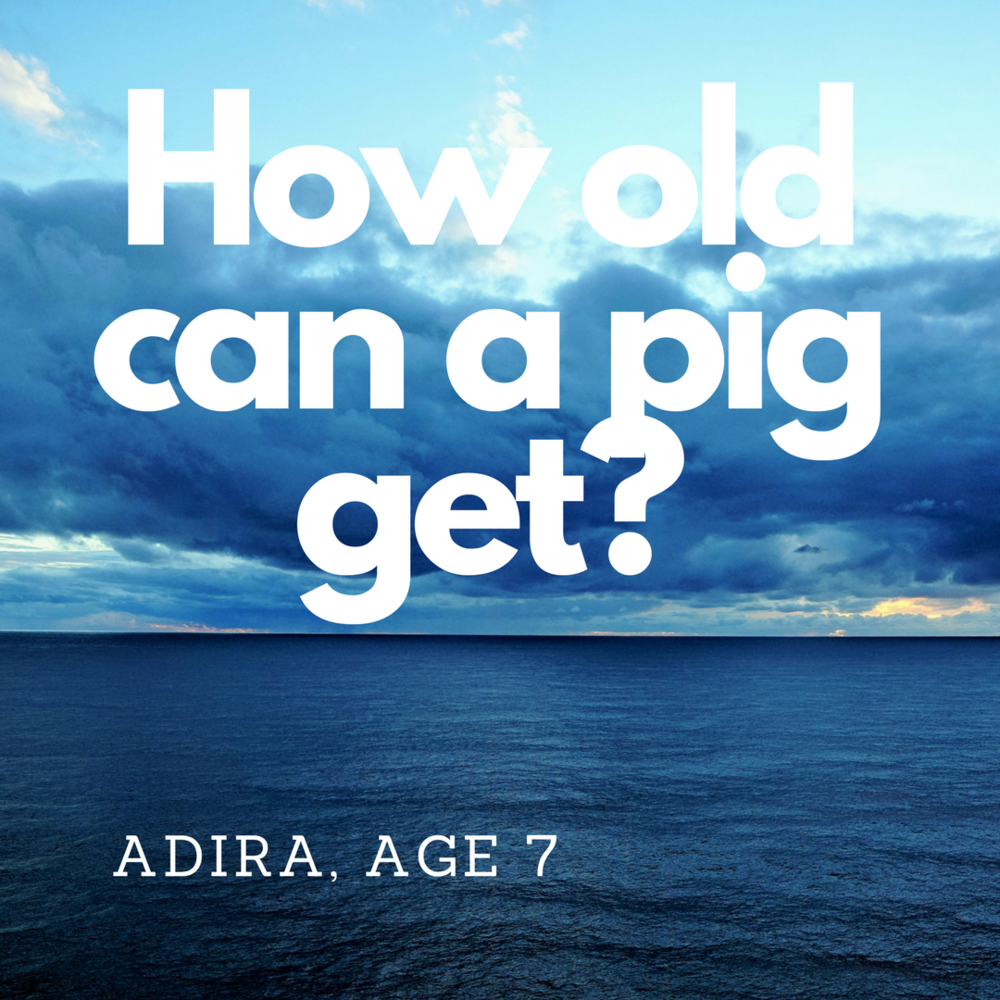How old can a pig get-.png