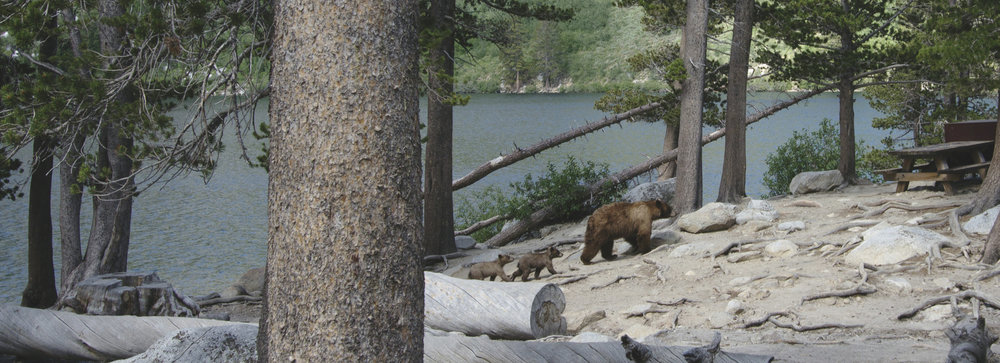 Bear & cubs, Lake George