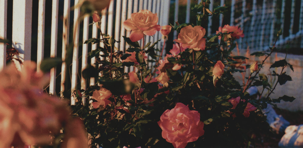 35mm roses in my backyard. 2015