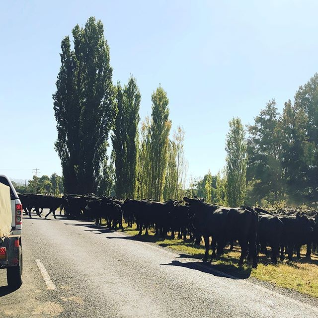 Slight traffic jam on the way to  #Coolah #askanartsworker this morning. #regionalarts #countrylife #cowlife #roadblock #trafficjam #drought #droughtaffected #warrumbungleregion @2357_warrumbungles #artsworkerlife #regionallife #regionalartsnsw #regionalartsaustralia #cowsofinstagram #rearview #nothingintherearview