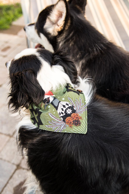 Kyla JO Photography dog collab with playful fox & co. bandana photos on Kip and Carbon dogs