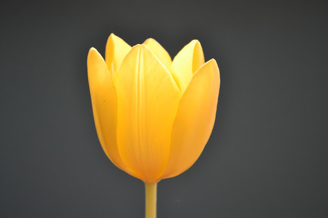 tulip_yellow