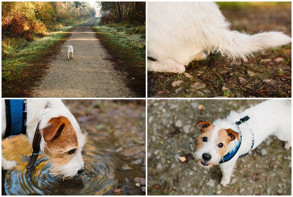 Four images of a Parson Russell Terrier walking in the woods