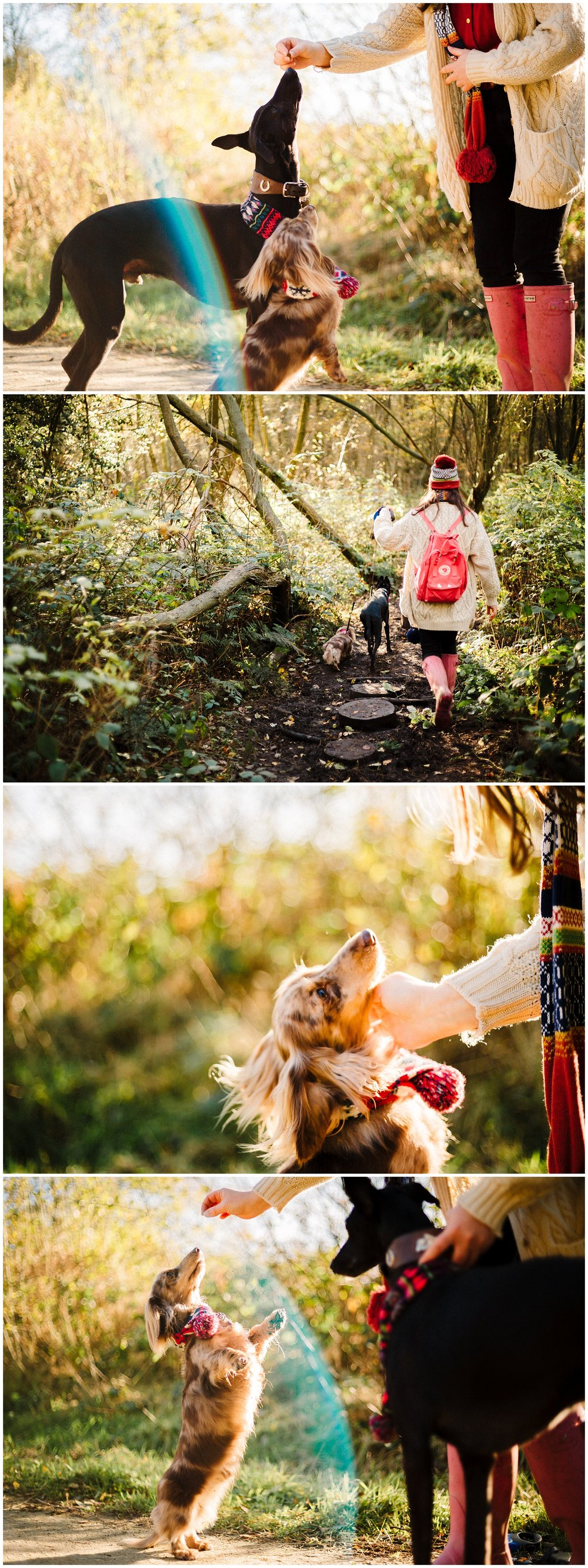 portraits of a long haired daschund and black whippet in the yorkshire woods