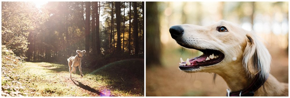 portraits of a saluki dog in the woods in yorkshire
