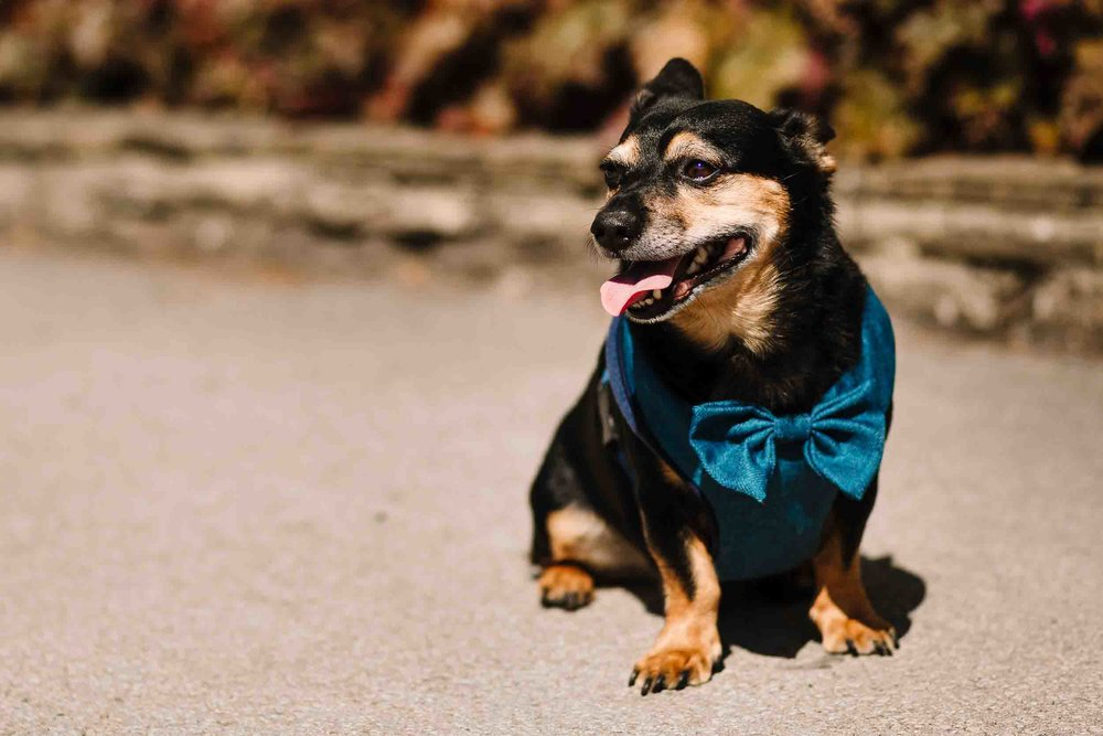 a dog wearing a bow tie
