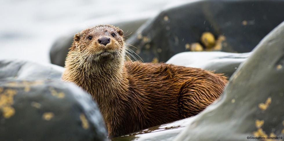 Otter in Scotland (Photo: Lee Thickett)