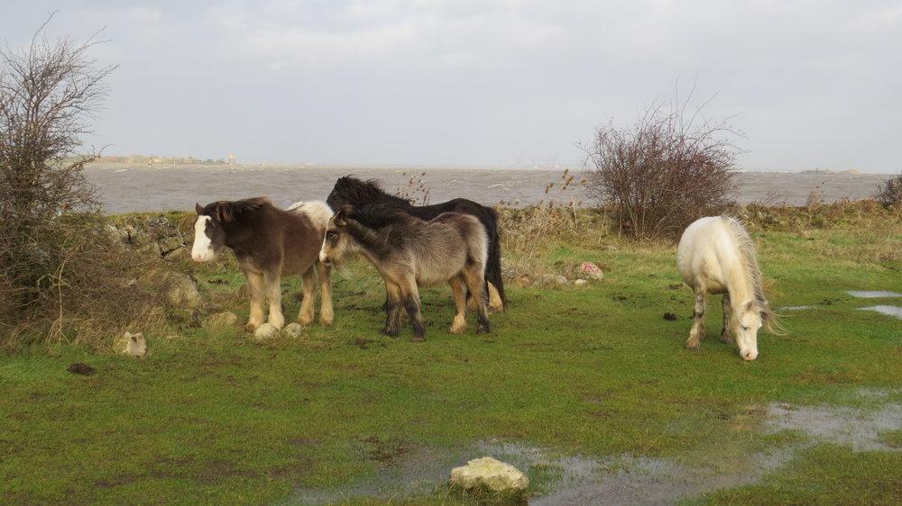 Wind swept ponies