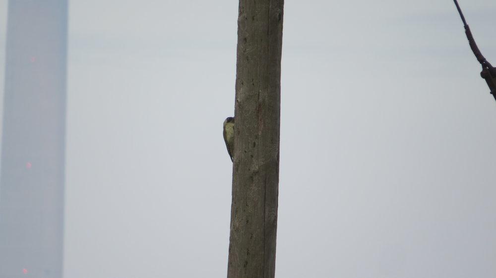 Cheeky pecker hiding
